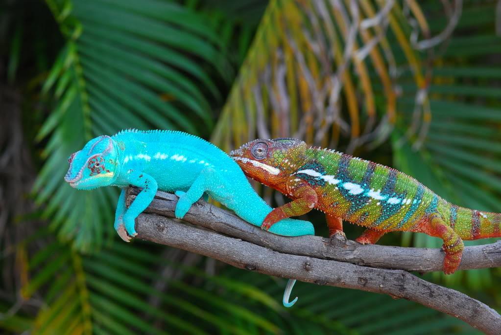 why do chameleons change color 50 shades of chameleons